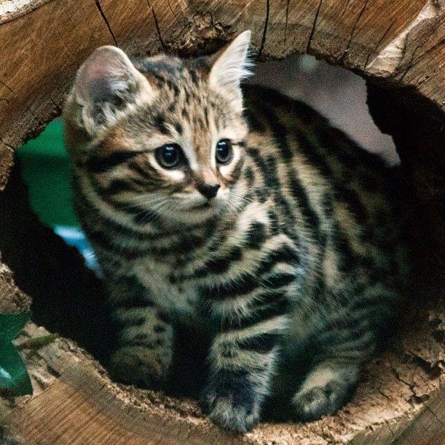世界最小の猫 クロアシネコ が可愛すぎて癒される 動物 かわいい猫 ペット