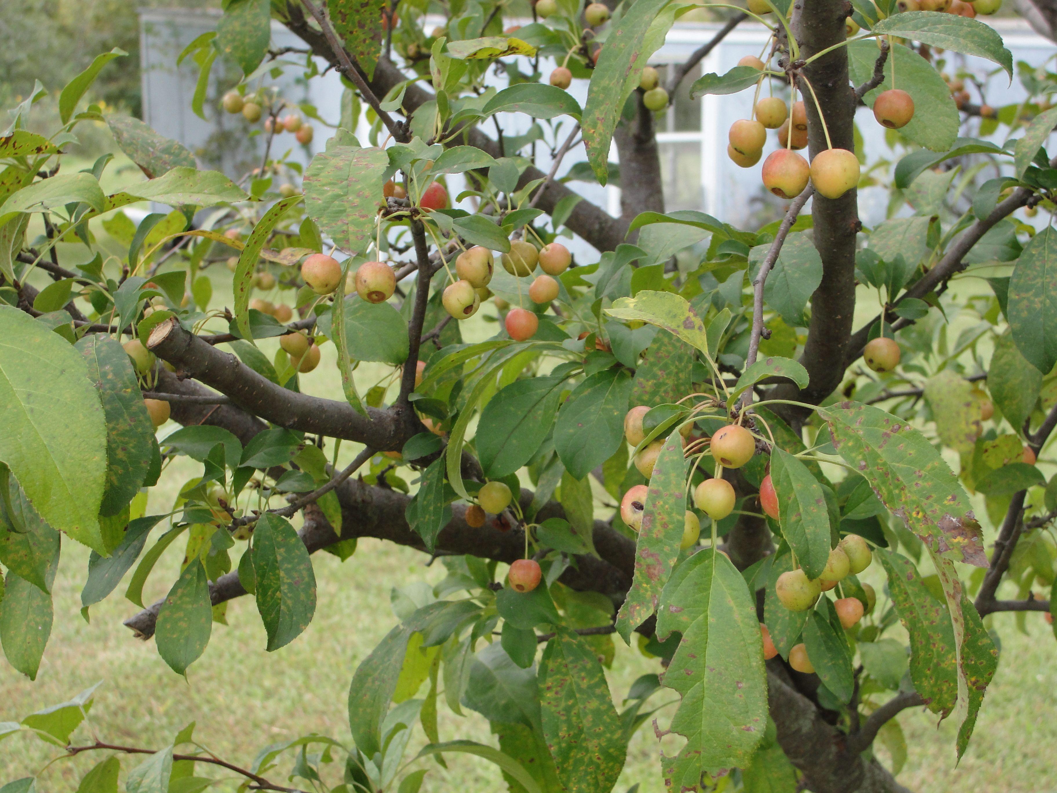 Crab Apple Tree in our back yard.   Apple tree, Beautiful ...