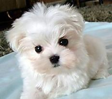 Pin By Meg On Maltese My Heart Puppies Pets Maltese Puppy