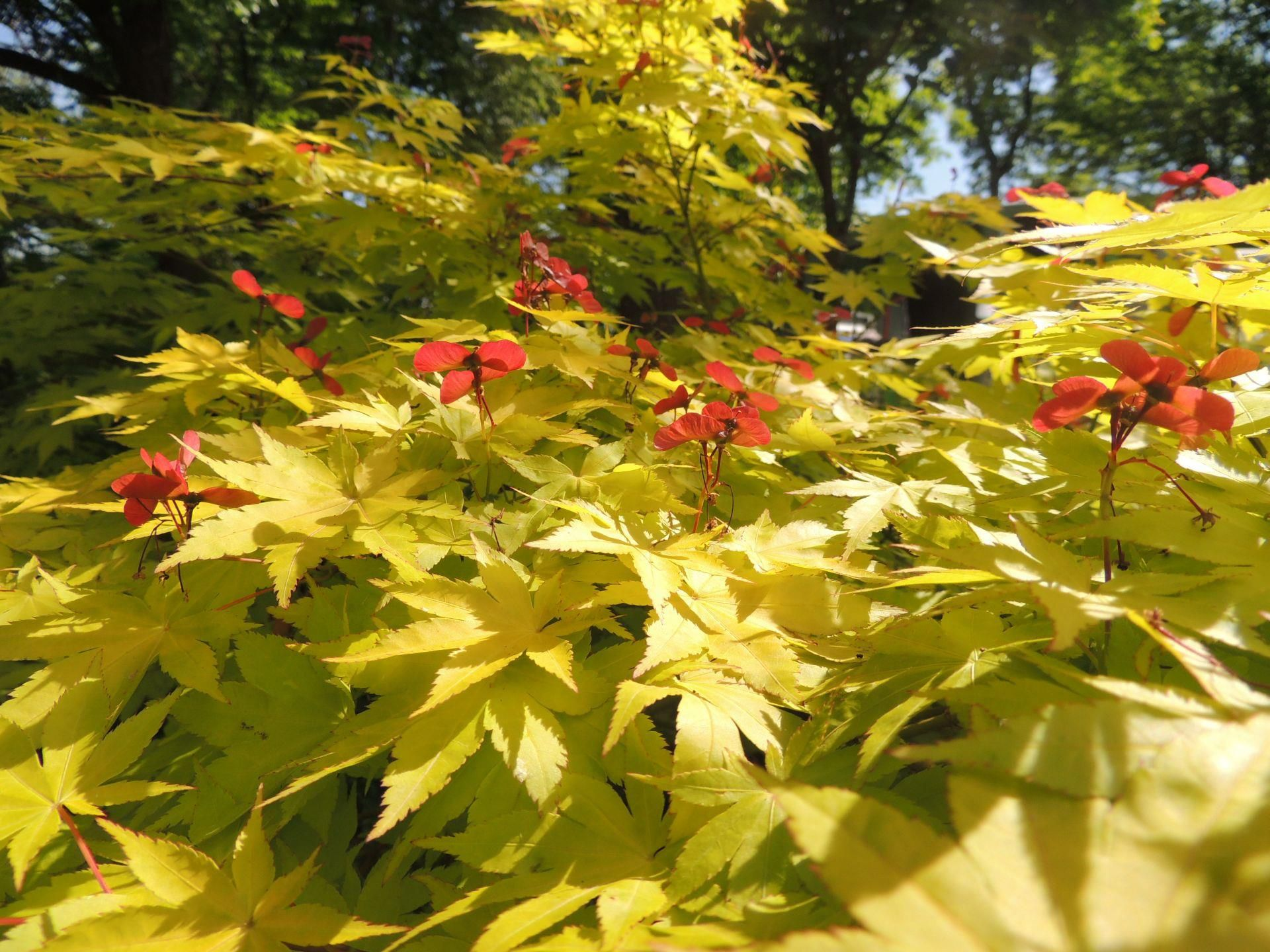 Acer Palmatum Summer Gold With Fab Yellow New Growth And Red Seed