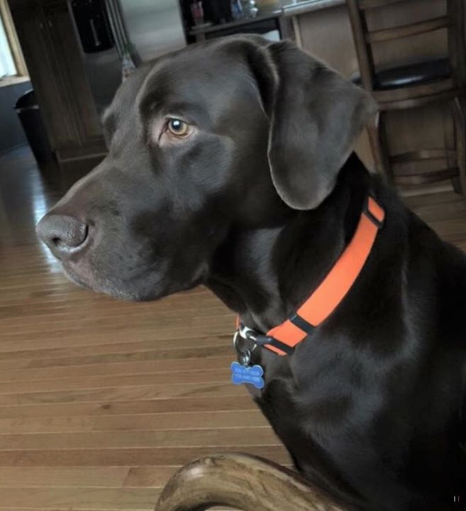 Lost Dog Grand Rapids Chocolate Lab Male Date Lost 11 20 2019 Dog S Name Camo Breed Of Dog Labrador Retriever Gender Male Cl Losing A Dog Dogs Dog Ages