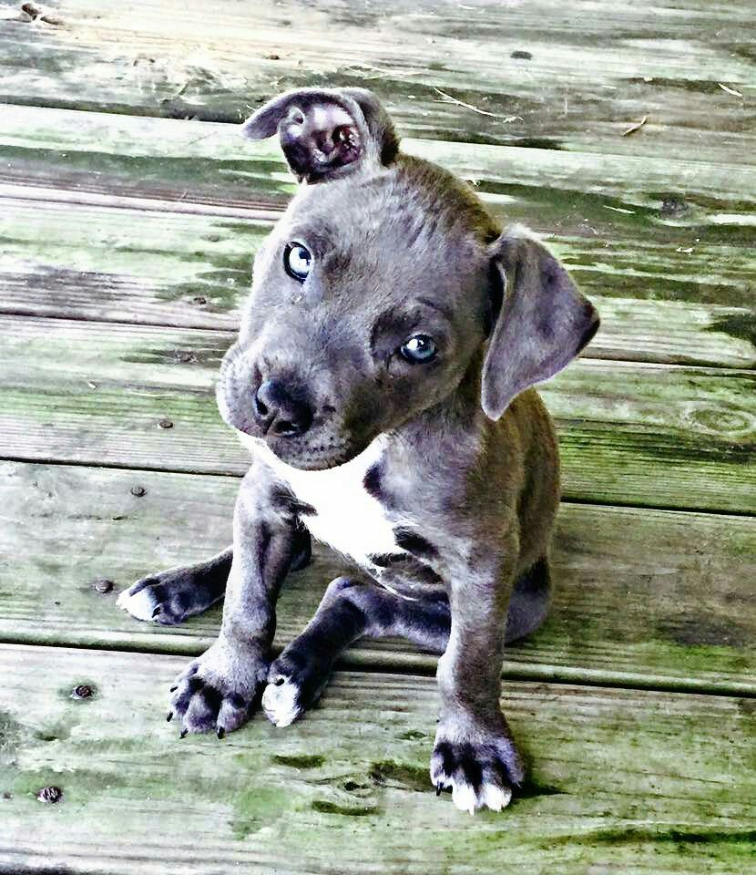 Pitbull Puppies For Sale In Sc