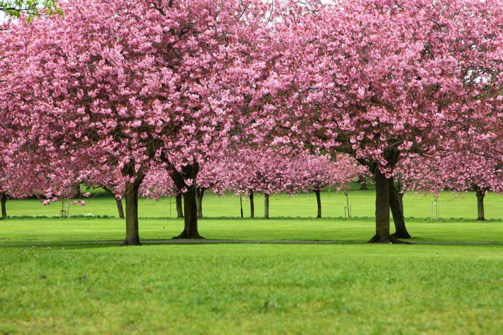 Sakura Un Arbol Japones Sakura Tree Tree Tree Seeds