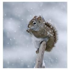 Red Squirrel in Snow Poster