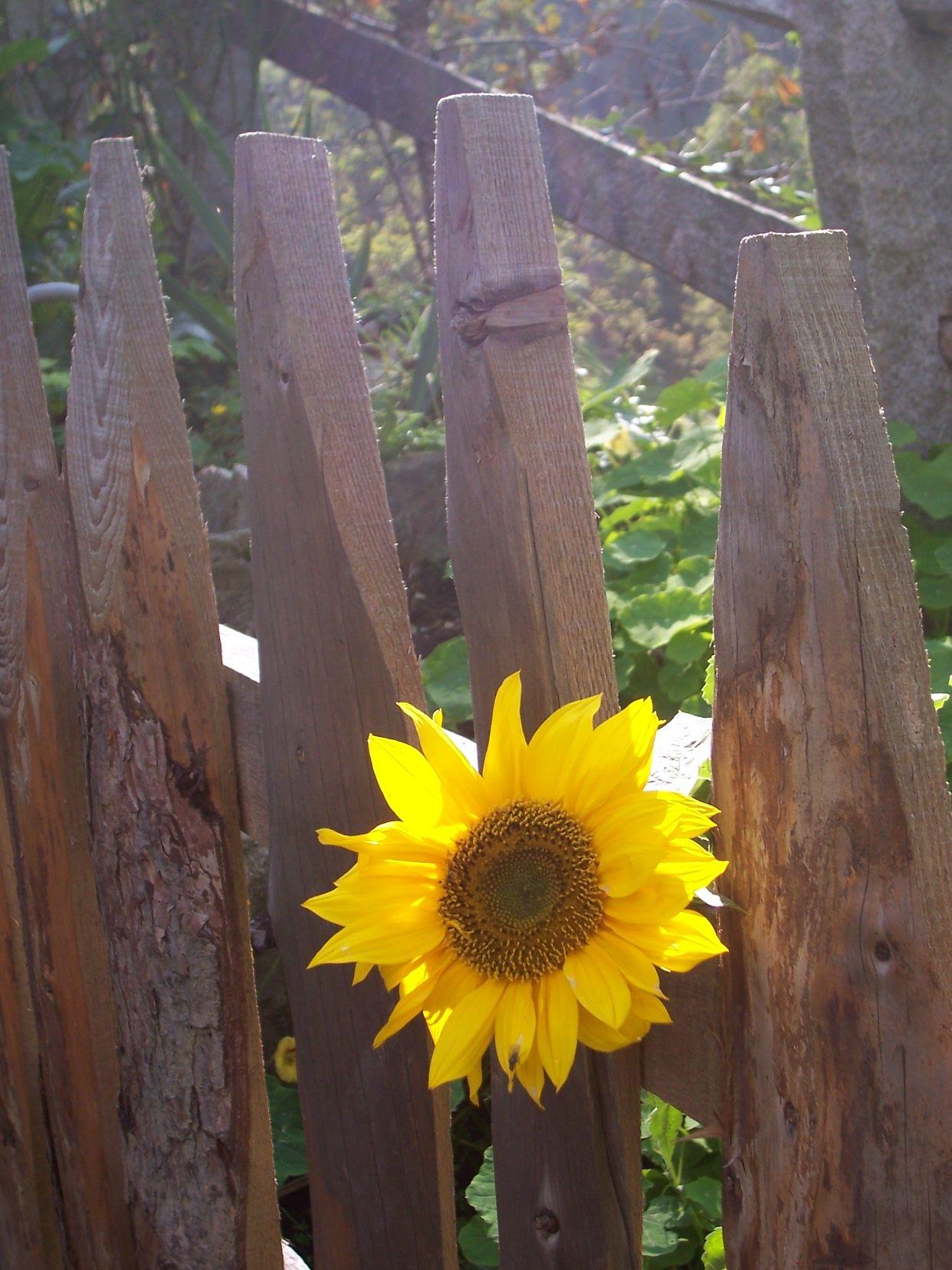 sunflower globetrotter