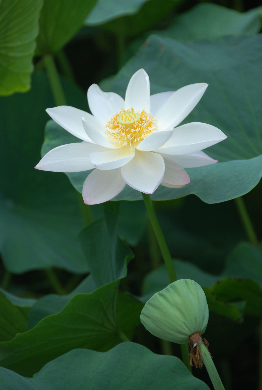 65+ White Lotus Wallpapers Download at WallpaperBro