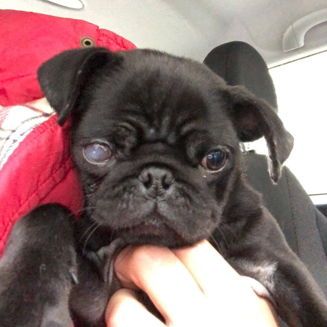 There S An Amazing Lady In The Uk Who Some Of You May Know From Her Viral Pug Grumble Photos Bubblebeccapugs She S A Dog Pugs Puppies About Uk