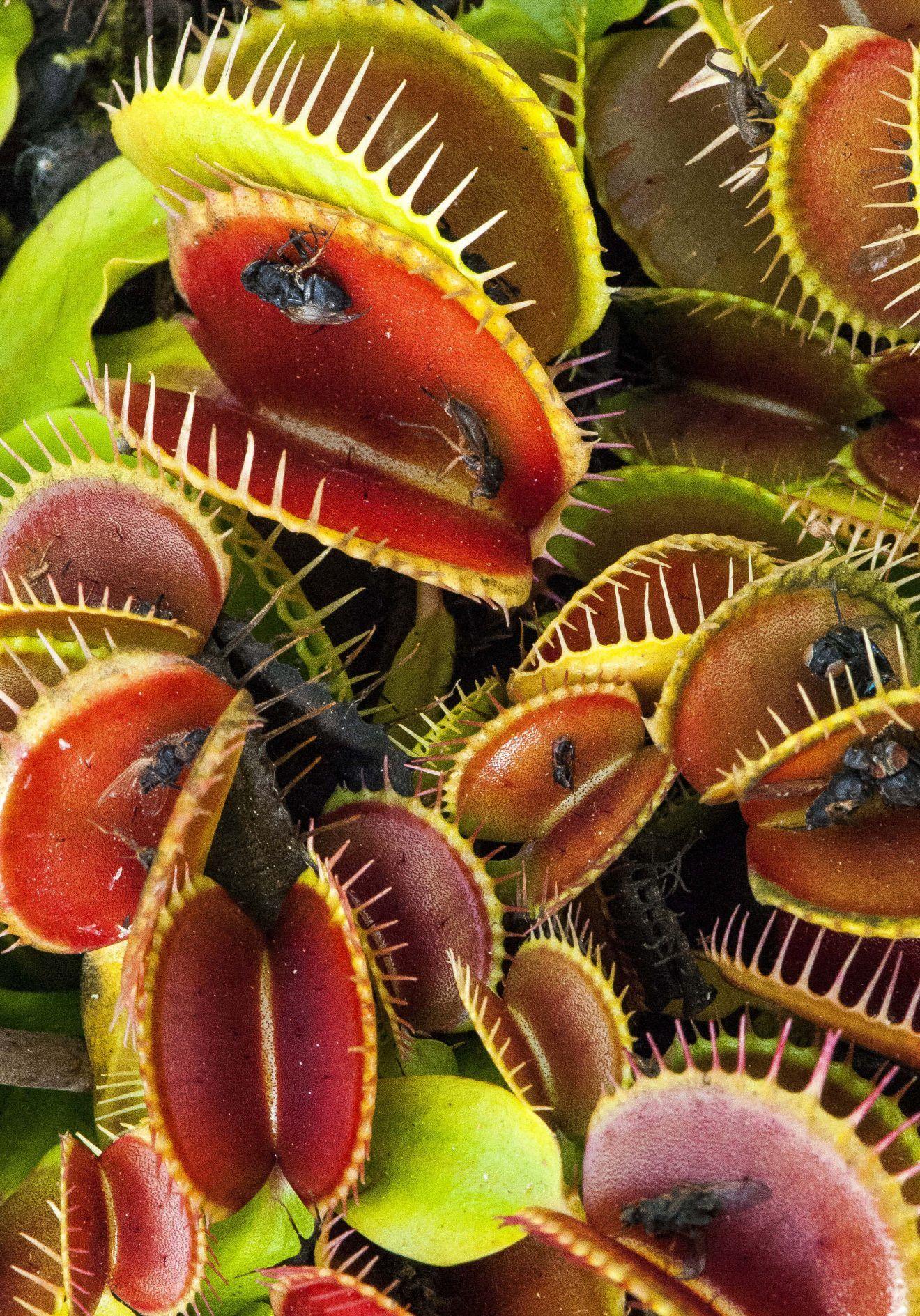 plante carnivore f