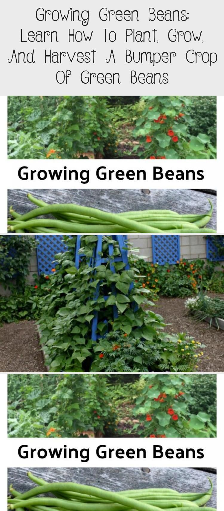 Tips For Growing Green Beans In Garden Beds And Containers Grow Pole Beans Up A Strong Support Like A Tr Growing Green Beans Green Beans Garden Growing Greens