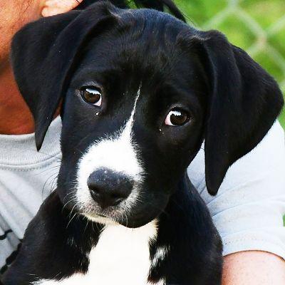 Borador Dog For Adoption In Huntley Il Adn 655632 On Puppyfinder