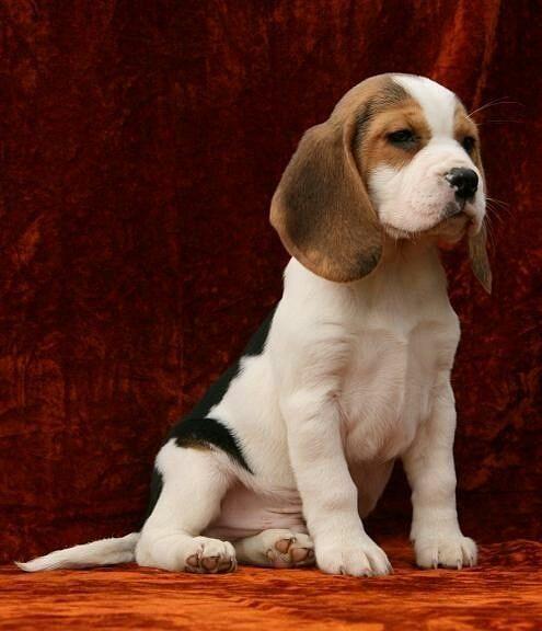 "Beagle on Instagram: ""Beagle Beautiful 💖  Belong to @pinterest  #beaglemania #beaglepuppy #beaglestagram #beagleworld #beaglemix #beaglelover #beaglegram…"""