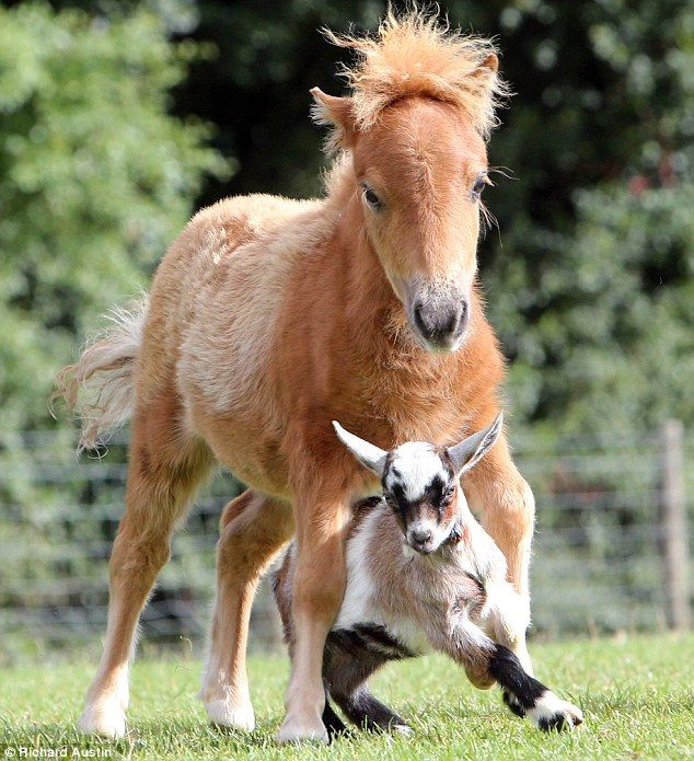 Thinking Big Minature Pony Foal Measuring Just 26 Inches In Height Is Named Hercules Foals Pony Miniature Ponies