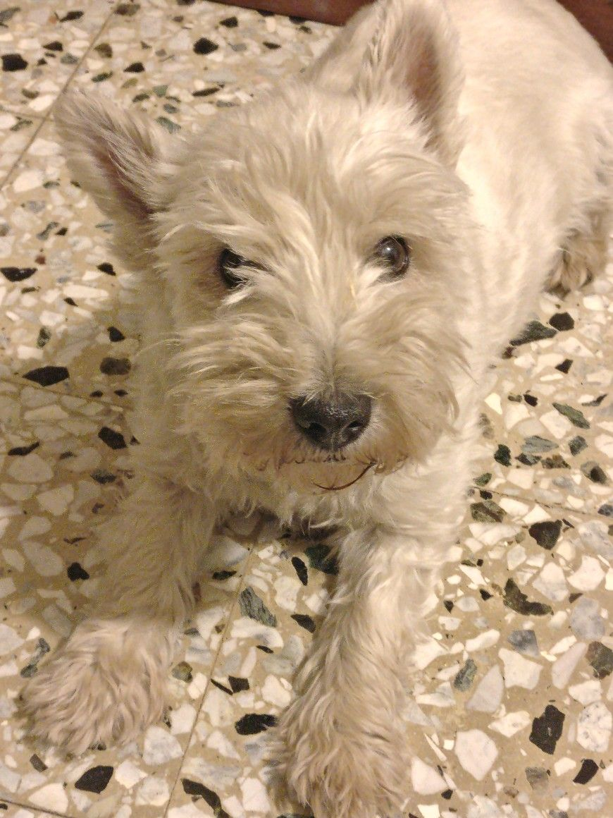 Pin By Beth Adams On Westies Puppies Dogs White Dogs