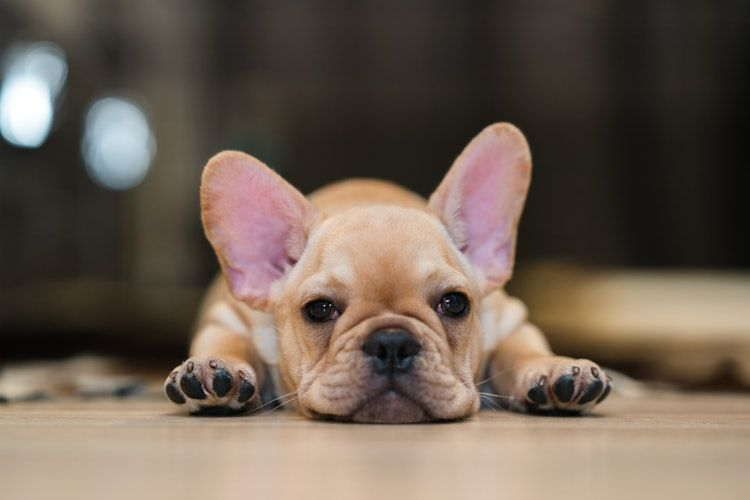 12 Signs You Re A Total French Bulldog Mom French Bulldog