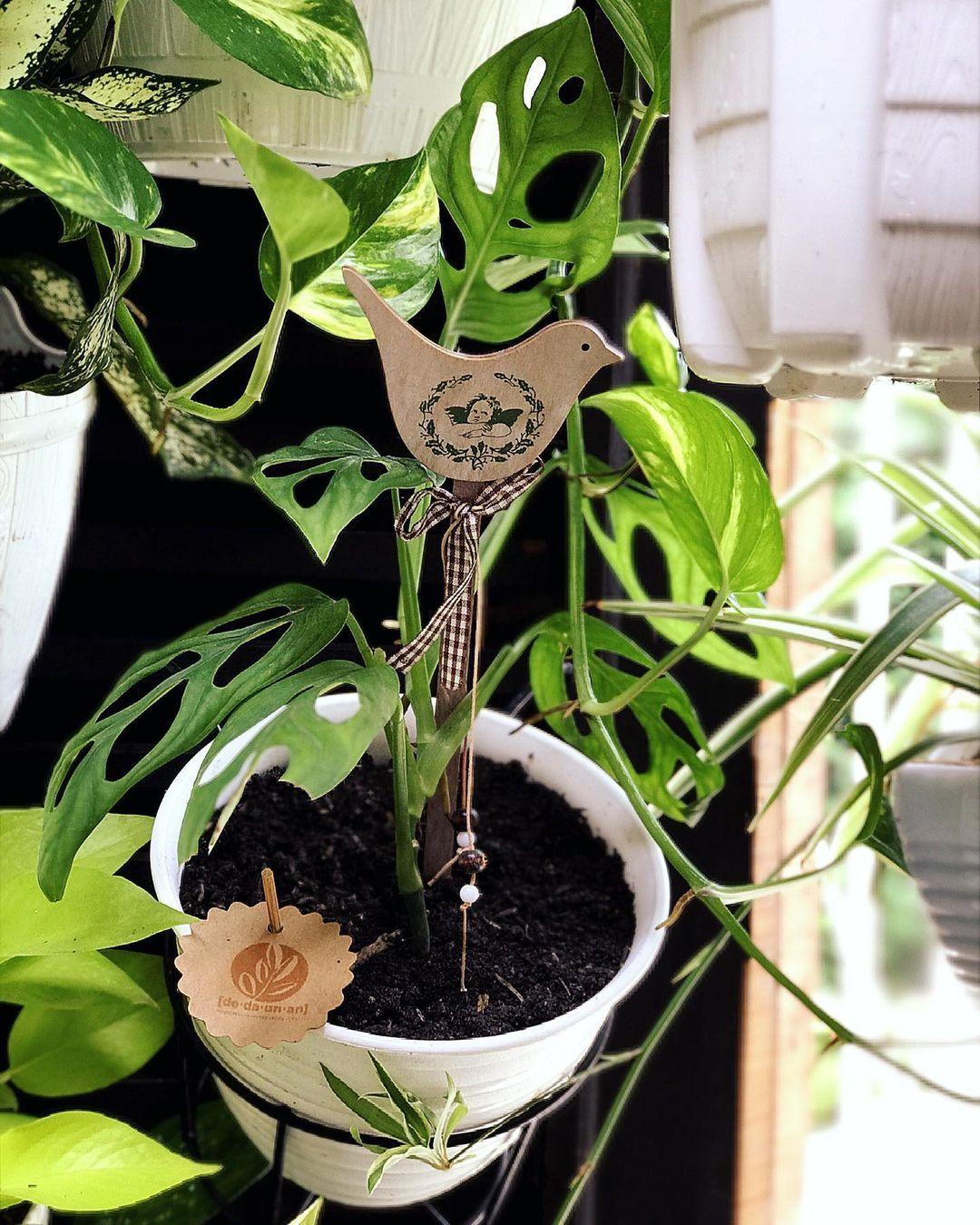 Dedaunan On Instagram Klo Monstera Adansonii Versi Pot Gantung Yg Ada Turus Gambar Burungnya Udah Ada Kah 125k Dedaunanshopme Dedaunanshopme Plants