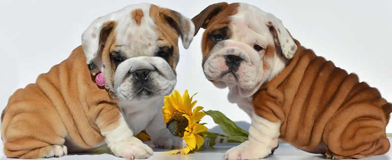 Mini English Bulldog Puppies Ohio Red And White English Bulldog