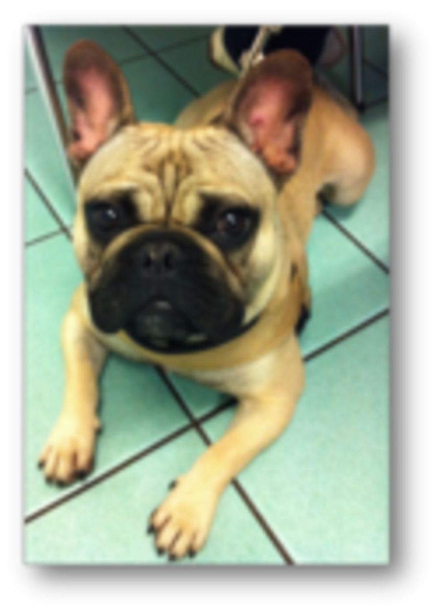 Tierklinik Hofheim Brachycephales Syndrom These French Bulldogs Are Perfectly Mischeivous Daily Puppy Elli The Boxe In 2020 French Bulldog French Bulldog Mix Bulldog
