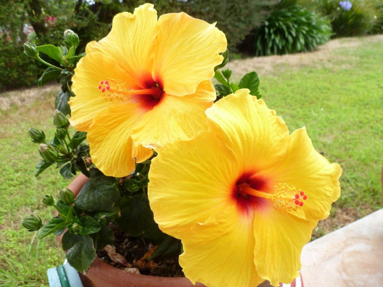 Hibiscus the hibiscus blooms home and garden pinterest hibiscus the hibiscus blooms izmirmasajfo