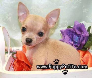 Nyc Puppy Chihuahuas For Sale Cute Animals Chihuahua Cute