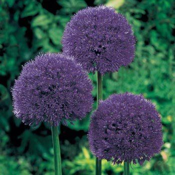 Persian Blue Allium Flower Seeds Bulb Flowers Allium Garden