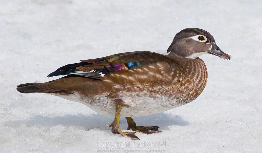 Wood Duck female | Wood Duck | Pinterest