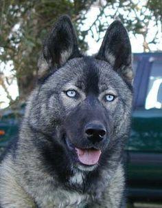 Husky Elkhound Mix Siberian