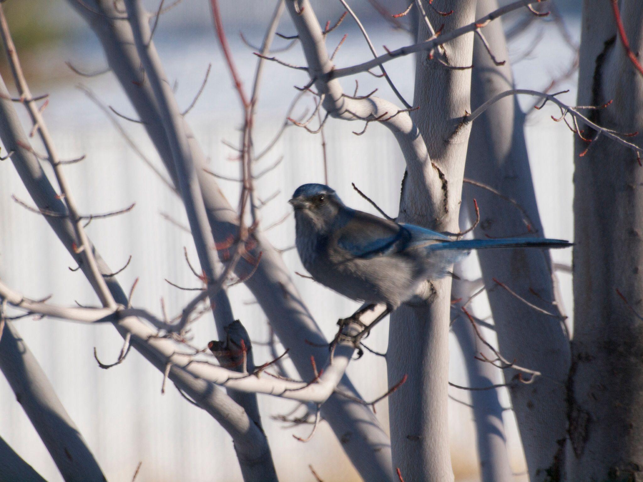 a western scrub jay hanging out in my backyard bird photography