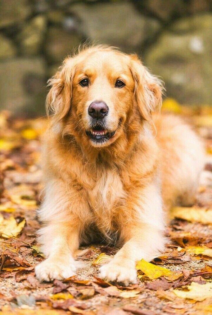 Photo Pet Photography Tips Golden Retriever Dog Photography