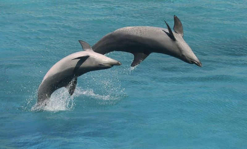 Two bottlenose dolphins put on an acrobatic show.