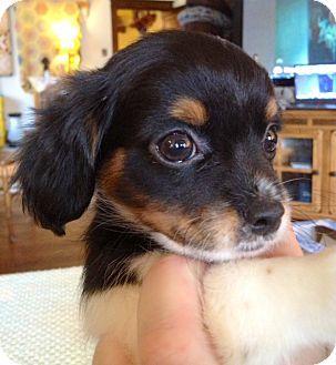 Dachshund Pekingese Mix Puppy For Adoption In St Louis Missouri