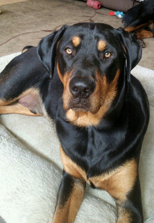 Green eyed rottweiler puppy roggan 11 months
