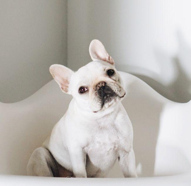 Classic Head Tilt French Bulldog Via Piggy And Polly On