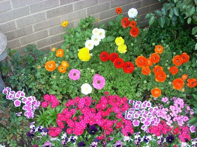 Texas Winter Flower Bed Raunacculus With Pansies And Dianthus Winter Flowers Garden Winter Plants Winter Flowers