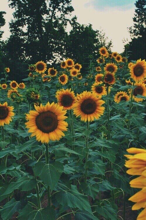 Sunflower Background Tumblr Sunflower Wallpaper Flowers Plants