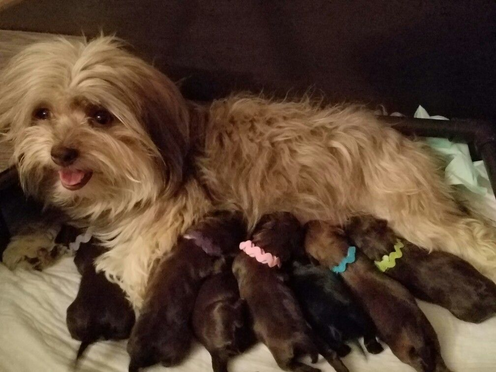 Zoey With Her Babies The Paw Patrol Litter Chocolate Havanese In