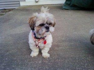 I Found Kodi Adopted On Shih Tzu Shih Tzu Dog Cute Animals