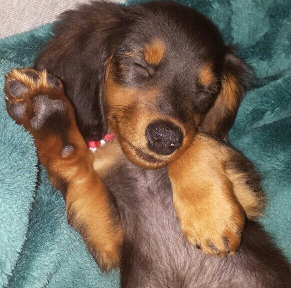 My Long Haired Miniature Dachshund Puppy Waving And Smiling In His