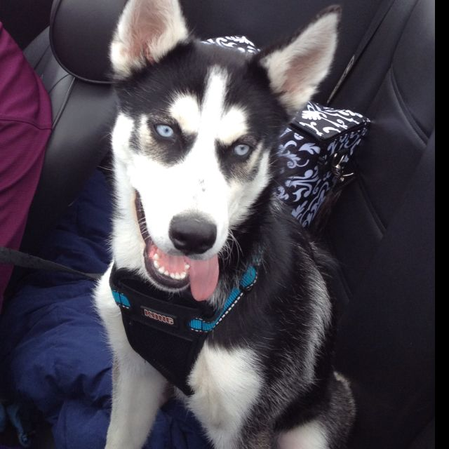 Cutest husky ever