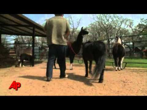 Mini Horse Gets Lifesaving Prosthetic Leg What A Great Story