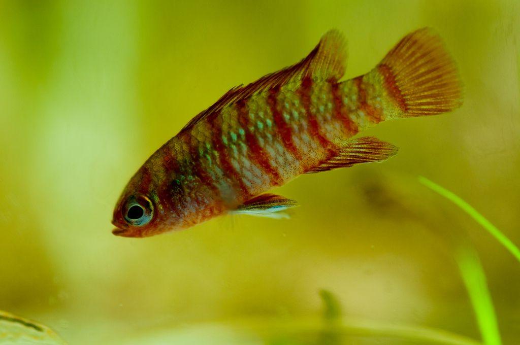 Dario Dario Freshwater Fish Freshwater Aquarium Aquarium Fish