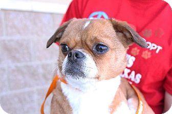 Carrollton, TX - Pug/Terrier (Unknown Type, Medium) Mix. Meet Cara a Dog for Adoption.