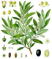 Fiori Ulivo.Olive Wikipedia The Free Encyclopedia Tree Art Botanical
