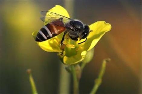 Un científico logra entrenar abejas para detectar las enfermedades de los cereales