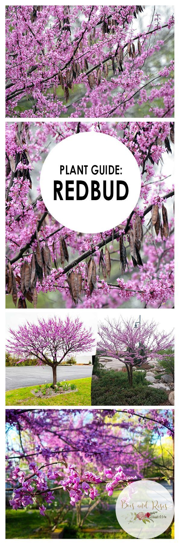 Plant Guide Redbud Tree Plant Guide Trees To Plant