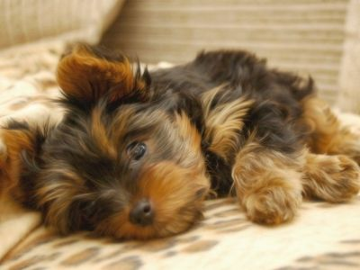 10 Hypoallergenic Dogs i wonder how dogs