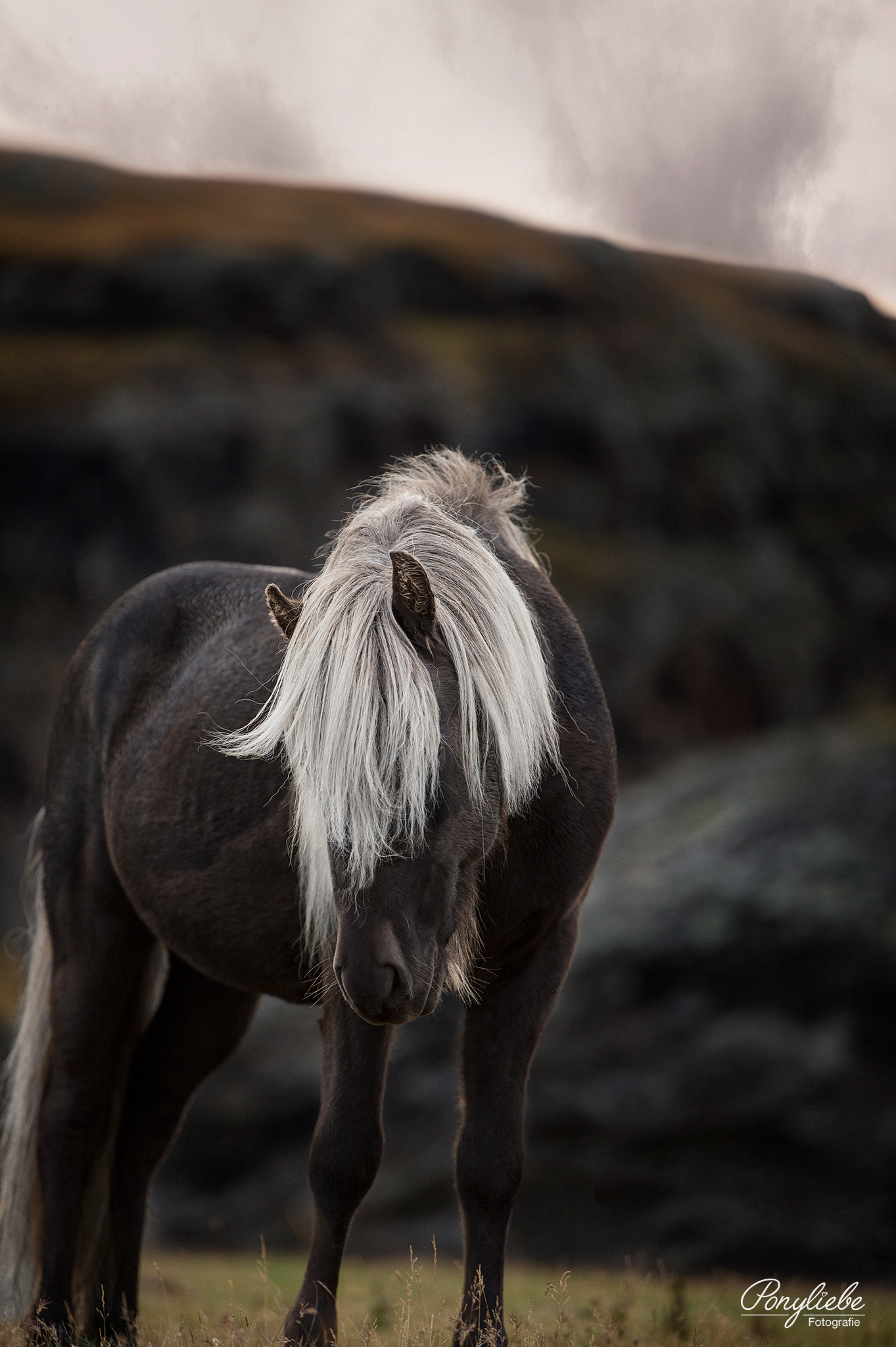 Isländer in freier Natur.  Pferdefotografie by Ponyliebe Fotografie. Horse Photography. Equine Photography. Equine Photo Love. Animal Photography. Fotografieren lernen. Weiterbildung für Tierfotografen.  #pferdefotografie #equinephotolove #equinephotographer