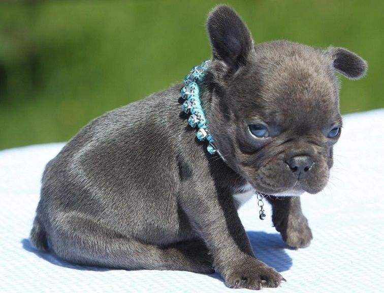 Pug French Bulldog Frugg With Images Blue French Bulldog