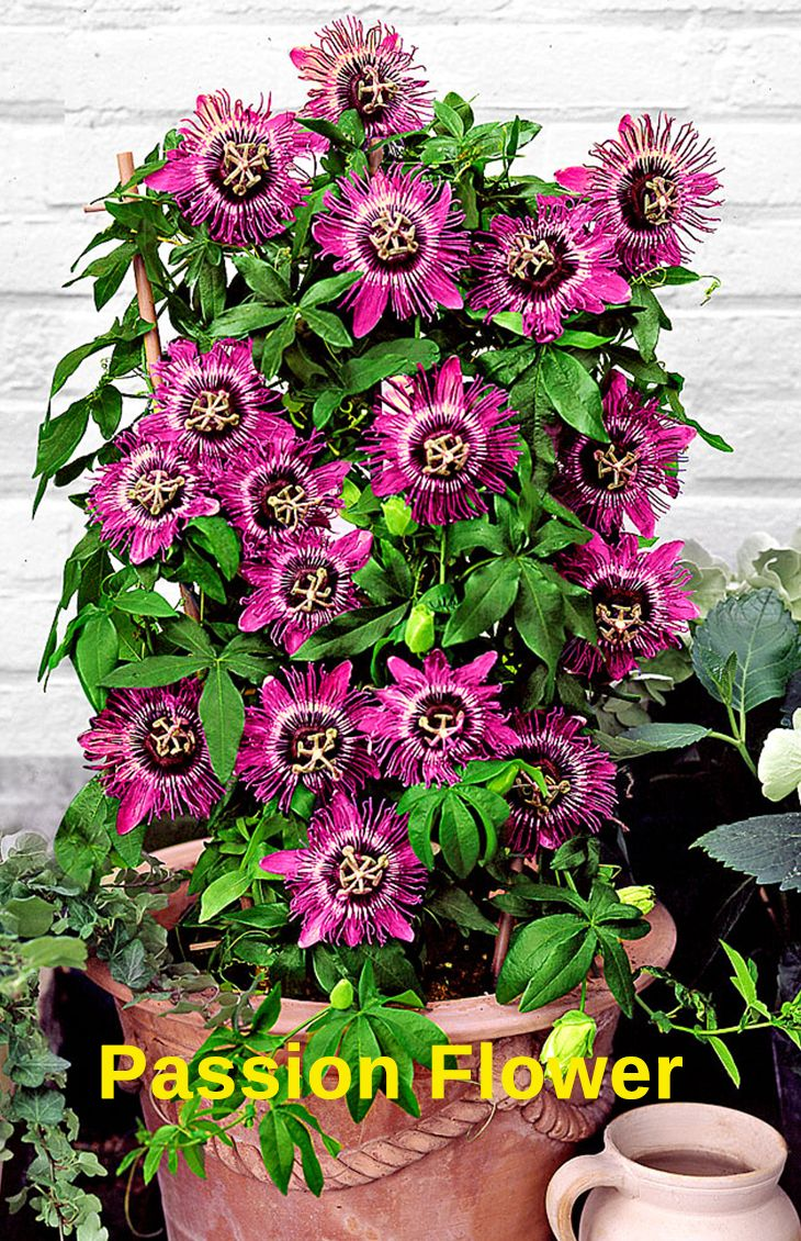 Top 10 Pergola Plants to Grow in your Pots | Passion flower, Plants ...