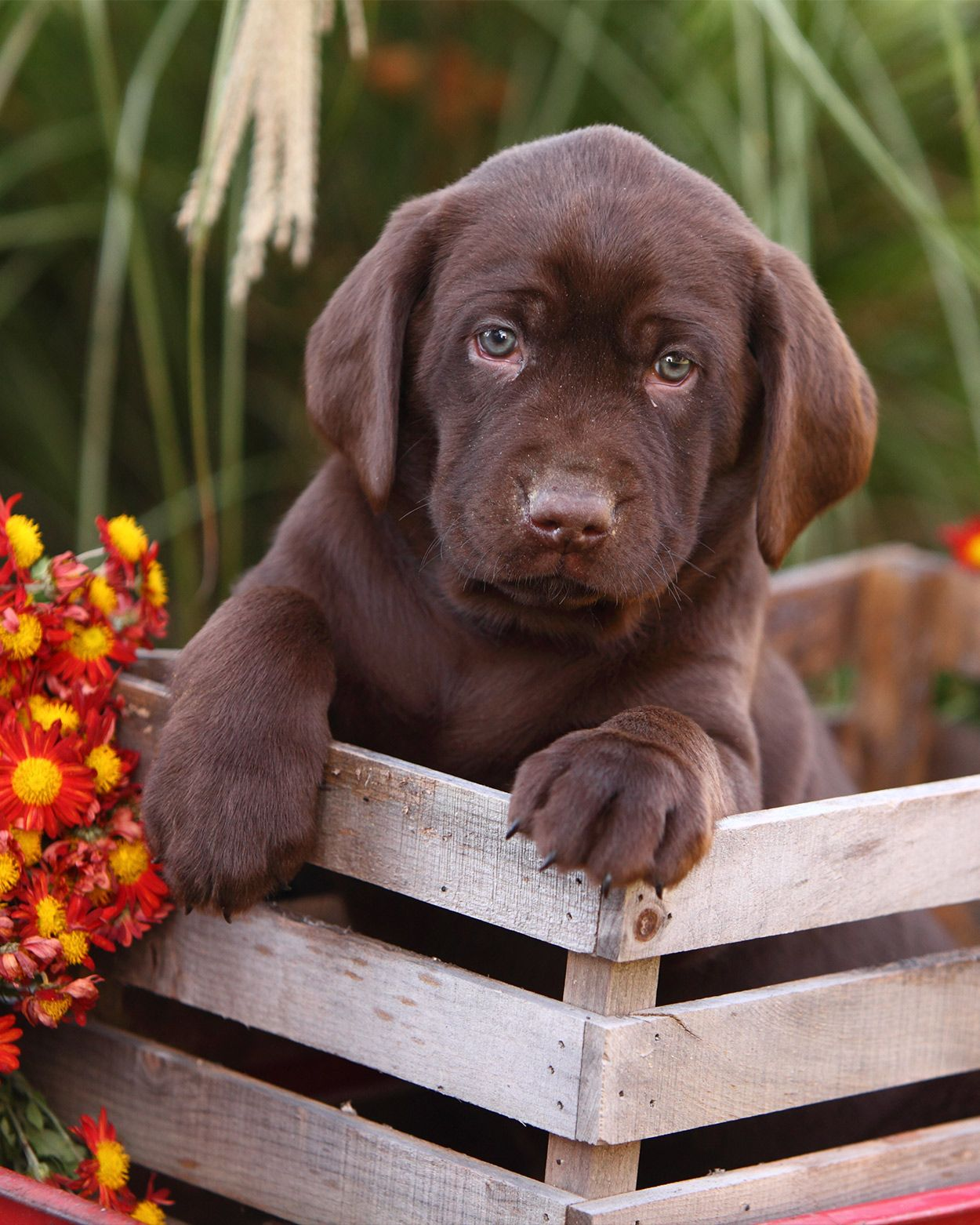 Pin By Susan Veroline Perry On Cute For Pets Chocolate Lab Puppies Lab Puppies Puppy Pictures
