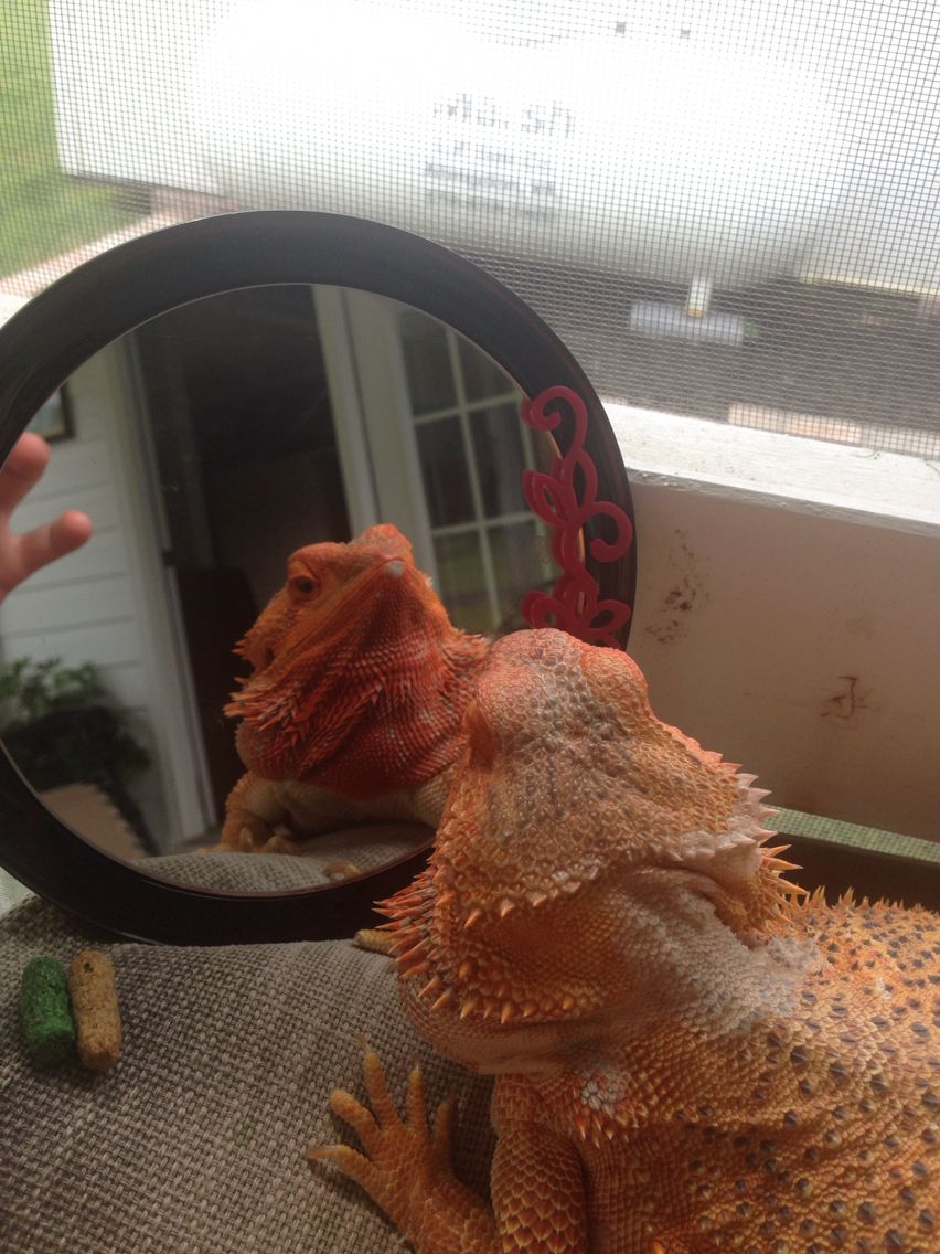 """""""I'm looking pretty today"""" says the Neb! Bearded dragon"""